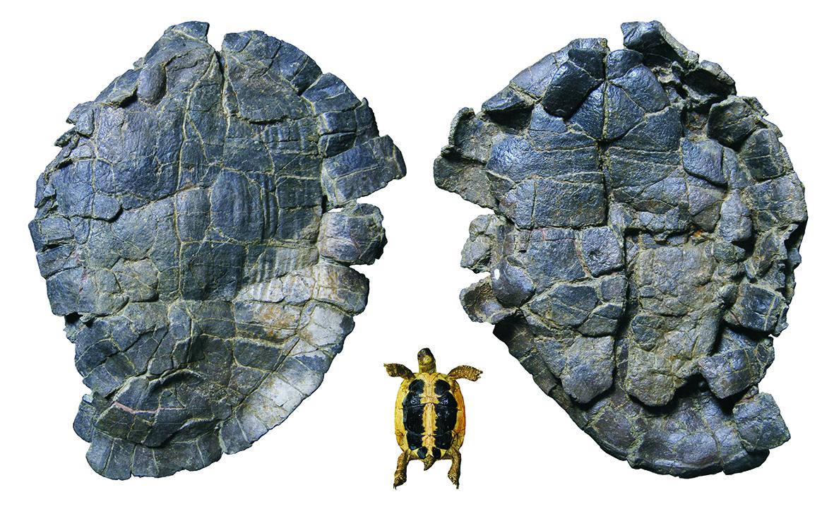 Un equipo de paleontólogos de la UNED y de la Universidad de Salamanca analiza el origen de las tortugas gigantes terrestres que habitaron en Europa