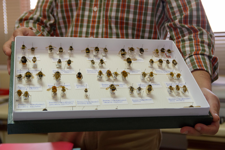 Zoólogos de la Universidad de Salamanca alertan sobre el declive de poblaciones de abejorros en el ecosistema natural de Pirineos
