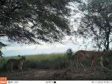 Imagen de pumas capturada a través de una cámara con sensores de movimiento